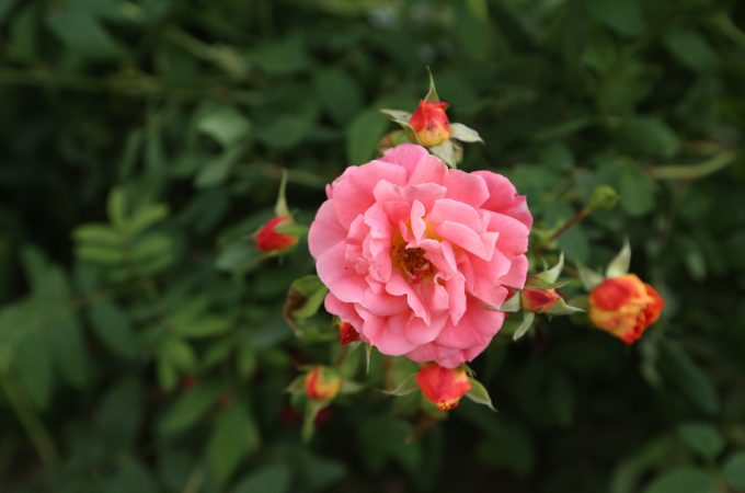 flower-rose-nature-plant-colorful-flowering-plant-1625727-pxhere.com
